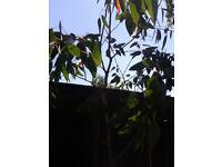 Eucalyptus tree 3 meters high