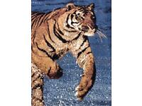 NEW Beautiful stunning tiger rug blue white snow print Large AS NEW CONDITION!