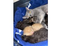 British shorthair x tabby kittens