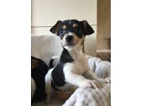 Gorgeous Jackahuahua Puppies Now Abailable