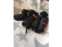 Cavapoo f1b puppies for sale hypoallergenic