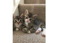 Two female tabby kittens