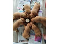 kc health tested fox red labrador puppies