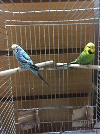 Two Budgies for Sale Green & Blue