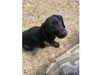 dachshund puppy sausage dogs