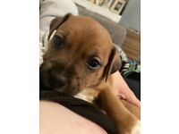 One beautiful Jack Russell X boy puppy