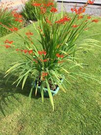 LUCIFER PLANTS...