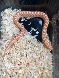 Albino hognose snakes