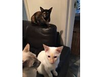 Beautiful Siamese kittens looking for loving owners