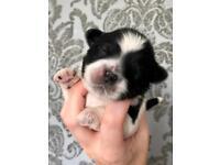 🐾Last Lhasa Apso Pup For Sale🐾