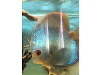 Blue snakeskin discus male 6+ inch