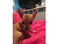 3 months Chihuahua