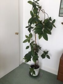 Rubber Plant 6ft tall including pot.