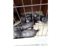 Baby ferrets for sale.