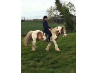 14hh Weight carrying skewbald gelding 8years old