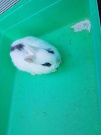 Dwarf baby rabbit just 1 left