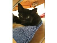 Gorgeous black kitten 8 weeks male £40
