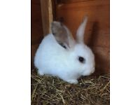 Baby rabbit (brand new hutch available)
