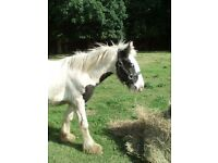 Piebald Yearling Filly to make 15.2hh +