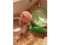 Syrian Hamster Female and accessories