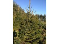 REAL CHRISTMAS TREES (Xmas Tree) for sale - ready now