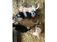 Labrador cross spaniel pppies for sale