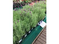 Large garden Lavender plants at low prices landscapers growers etc