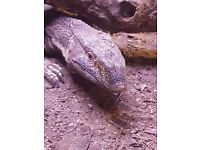 V.Albigularis (Black throat monitor)