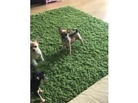 Beautiful tiny chihuahua puppy