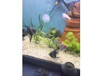 Angel fish rehiring