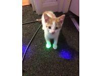 Little ginger / white kitten