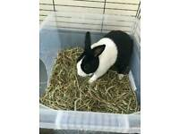 Loving home required for our Dutch bunny Pepe