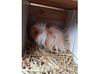 2 boy guinea pigs for sale