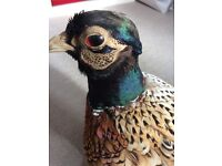 Taxidermy Stuffed Pheasant, lovely Bird
