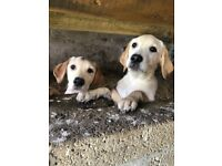 🐶 3 Labrador puppies 🐶