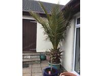 Jelly Palm Tree (Butia Capitata)
