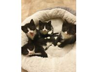 2 male Black and white kittens