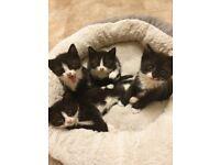 4 Black and white kittens