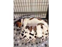 Beautiful miniature jack Russell puppies