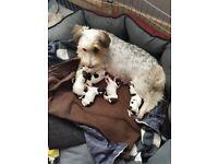 3/4 Shih tzu 1/4 Westie Puppies