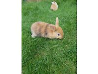 Baby Bunnies For Sale **READY NOW***