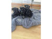 KC Reg Miniature Schnauzer Puppies