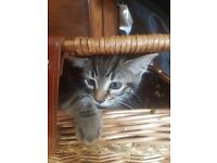 2 Beautiful, very playful tabby kittens - 8 weeks old - NO LONGER AVAILABLE