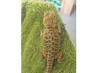High End baby bearded dragons morph