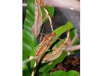 Crested gecko juvinelle