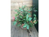 Photinia Red Robin outdoor plant