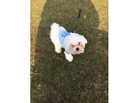 ABSOLUTELY GORGEOUS MALTESE PUPPIES PURE PEDIGREE