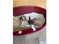 Shitzu pups