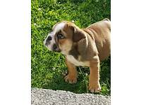 British bulldogs pups for sale