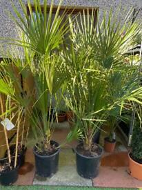 Chamaerops humillis palm tree plant